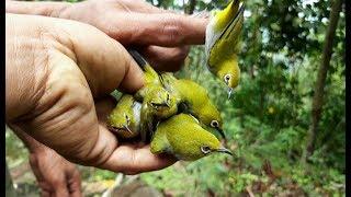 Pikat burung Pleci di hutan menggunkan mp3 dapat banyak