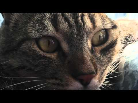 ¿Por Qué Mi Gato Maúlla Mucho? - SiamCatChannel