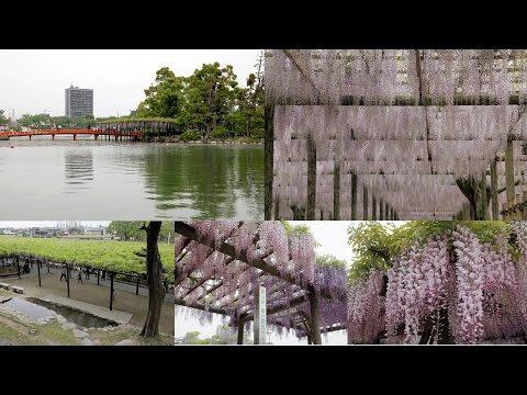 尾張津島藤まつり(2011)