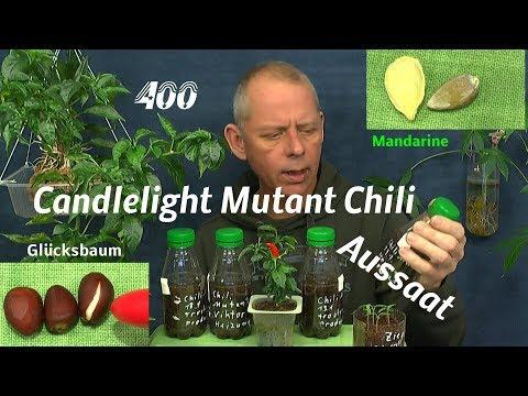 Candlelight Mutant Chili Aussaat Glücksbaum Mandarine Samen und Kräuter im Haus