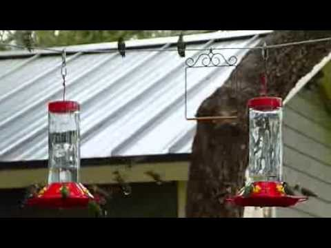 Hummingbird swarms (Rockport, TX)