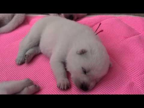 かわいい紀州犬の赤ちゃん・生後14日