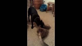 Собака ревнует к коту