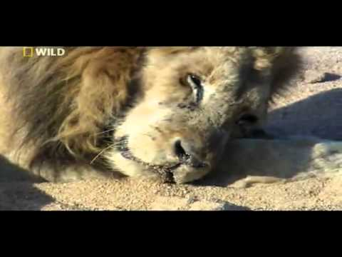 Last Moments of a Lion