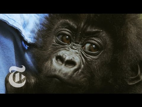 A national park ranger in the Democratic Republic of Congo struggles to protect gorillas from a brutal civil war. Produced by: Orlando von Einsiedel Read the story here: http://nyti.ms/1tQG0Qw...