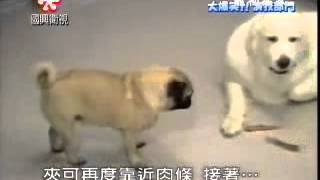Smart Pug Steals Food