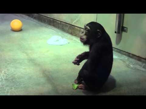 チンパンジー イチゴちゃんのお食事