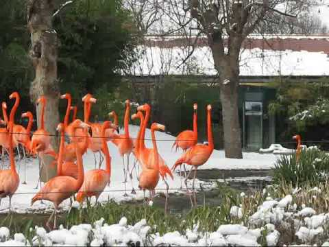 Caribbean/American Flamingos in winter, Zoo Vienna Video