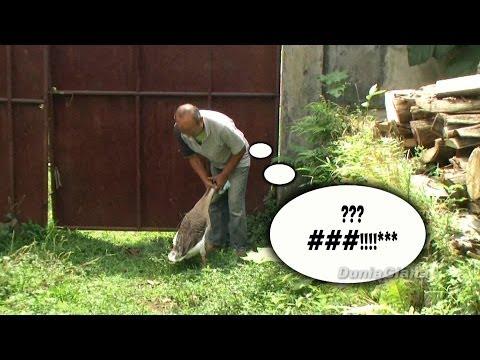 Angsa Ganas Vs Kakek Konyol - Fierce Goose Vs Silly Grandpa video