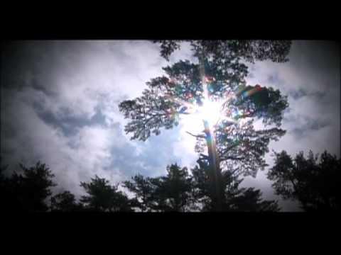 The Korean Pine Trees