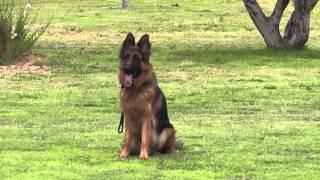 German Shepherd dog in Israel