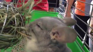 HAPPIEST Chinchilla Ever!!! Feeding on his hay ball!!!!