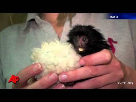Raw Video: Rare Baby Black Lion Tamarin Monkey