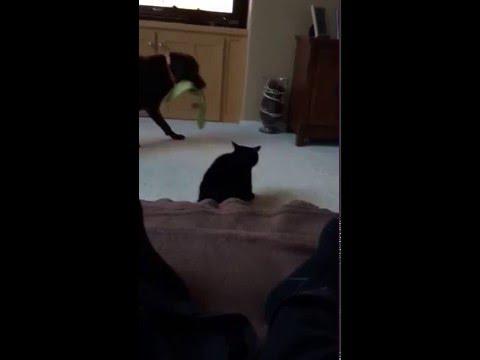 喧嘩するなー!と犬たちの喧嘩を一瞬でで仲裁するすごい猫!