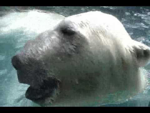 日本平動物園ホッキョクグマのロッシー ガラス越しにアタック!2011.7.30