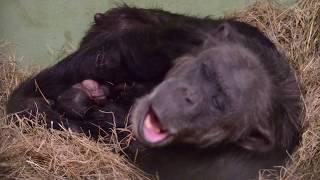 Twin baby chimpanzees – Nacimiento de mellizos de chimpancé en BIOPARC Valencia