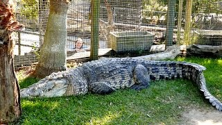 Feeding the Largest Crocodile in the US!