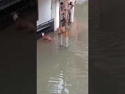 Crocodiles on roads in Vadodara during flood