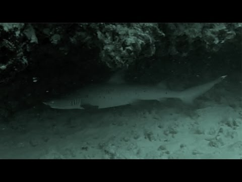 GoPro: Sea Tiger / Kaiser Reef - Sharks and Eels HD 15 Nov 14