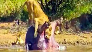 වෙන දේ කියන්න බැ ..කෑම කන ගමන් නම් බලන්න එපා  Dead Hippo Explodes And Sh*ts On A Lioness - Latest Wi