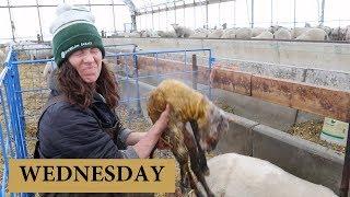7 Days of Lambing (WEDNESDAY): Vlog 130