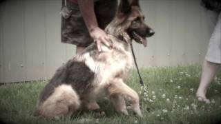 German Shepherd reunited thanks to microchipping