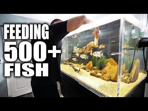 FEEDING 500+ FISH!!!   The King of DIY