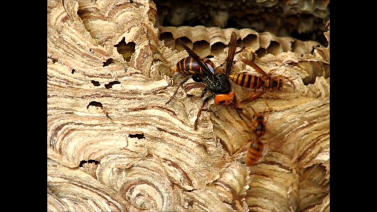 BeautyHose オオスズメバチVSキイロスズメバチ・大雀蜂 対 黄色雀蜂・・No1・弱肉強