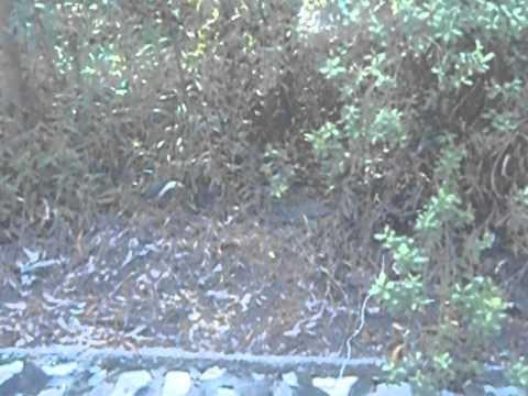 Burung Wak Wak 3 video