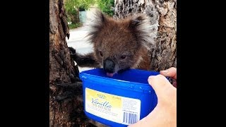 Teaching A Koala To Drink