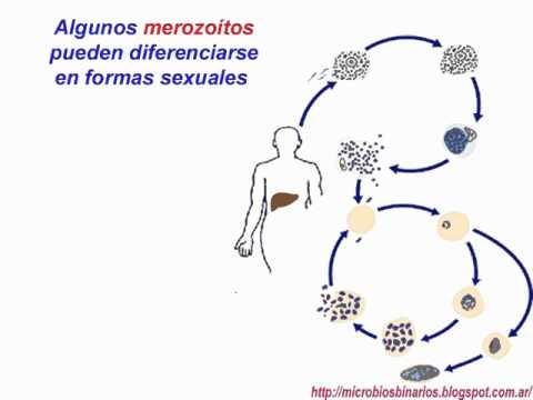 Malaria - Paludismo. Ciclo de Vida