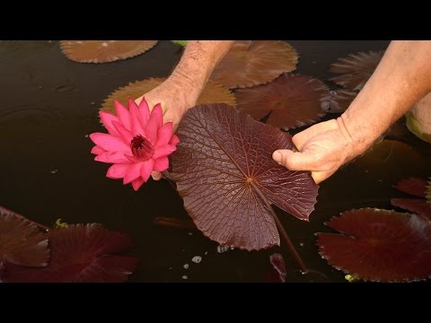Tropical Water Lily - Red Cup Lilies – 3/6
