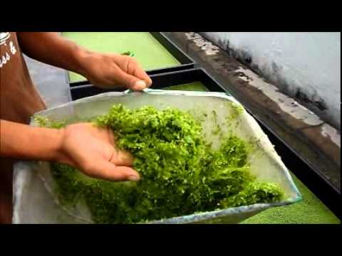 Duckweed Harvesting &amp  Fish Feeding   Autopot Aquaponics