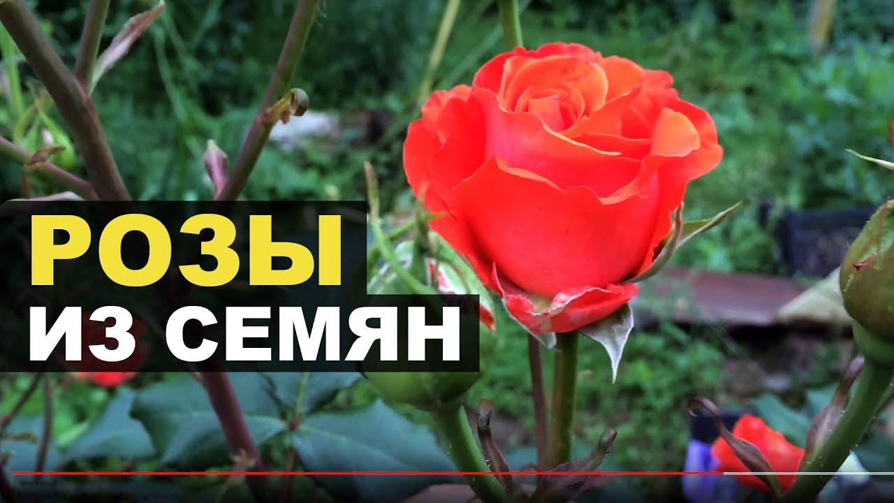 Розы : выращивание из семян купленных в Китае 77