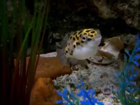 Marine 55 Gallon Green Spotted Puffer Aquarium (Update 2)