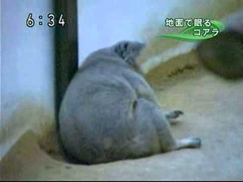 地上で眠るコアラ @東山動物園