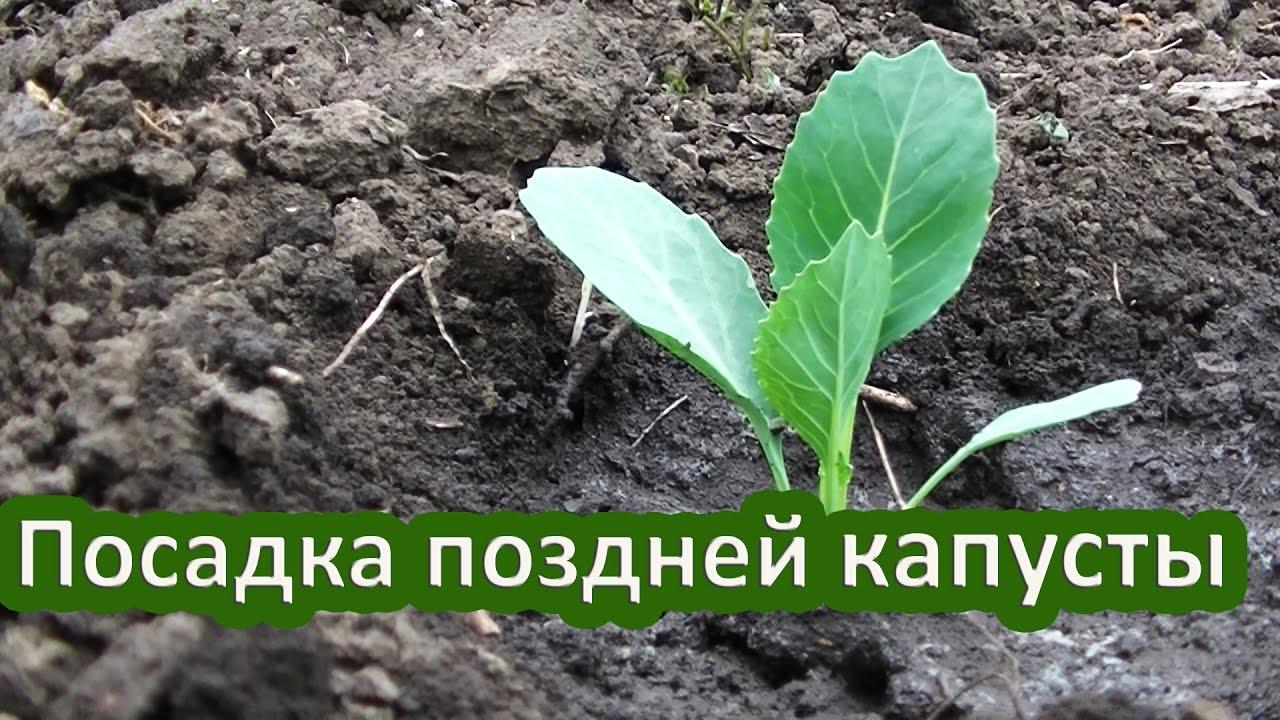 Когда и как сажать позднюю капусту 358