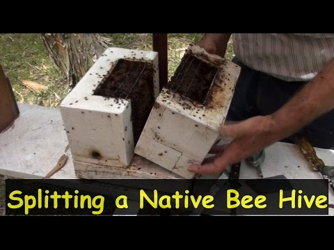 Splitting an Australian Native BeeHive to Make Two Hives