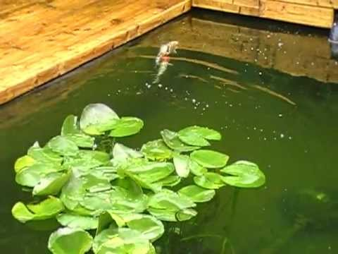 Reproduction koi bassin creamkoi youtube for Koi reproduction