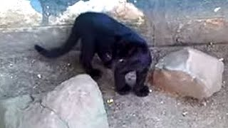 Playing With Black Leopards/Panthers
