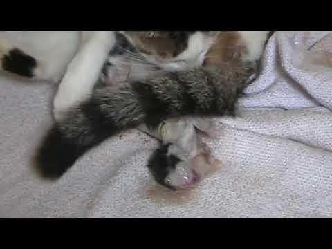 Parto de uma gata (BIRTH OF A CAT)