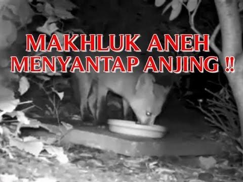 Video Kejadian Aneh penampakan Makhluk Aneh Yang Mengerikan Menyantap Anjing Terekam Cctv !! video