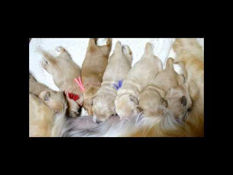 Golden Retrievers of Camelot House, Nursing Pups