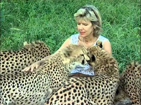 Woman Cheetah Baby Woman Feeding Purring Cheetahs