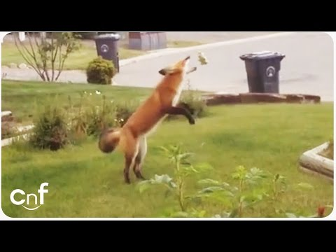 Fox Steals Dog Toy | Jealous Pup