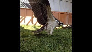 Nel the Osprey - flying