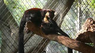 A couple of Black giant squirrels
