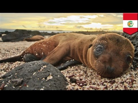 Plastic may have killed 500 sea lions found dead on Peruvian beach
