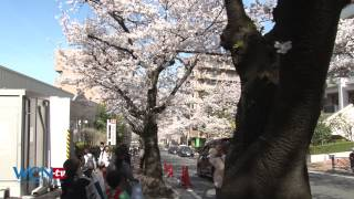 WCN-tv.com Earth Report: Sakura in Yokohama