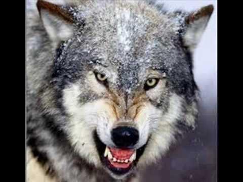 miggi (Oshtë Ujku)